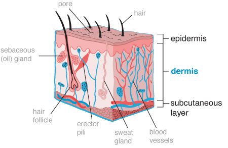 Skin-care-illustration-dermis