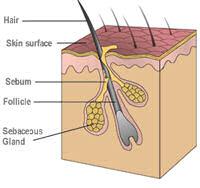 NormalFollicleDiagram